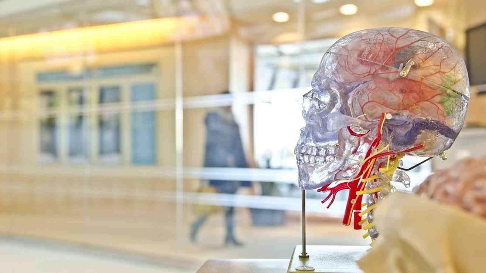 Plastic demo brain in an empty room.