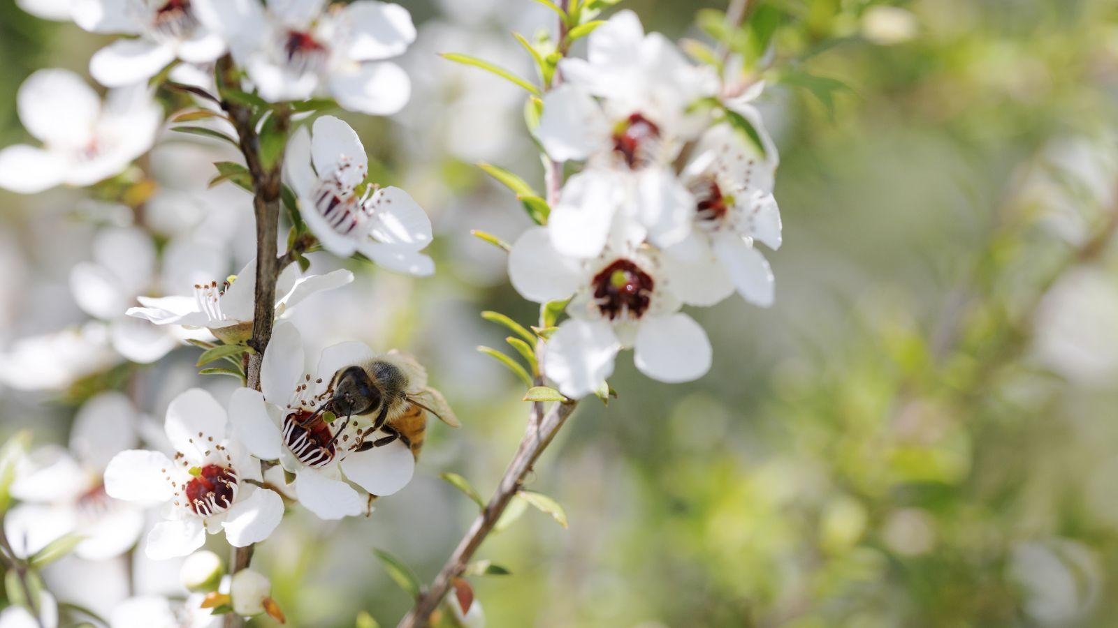 Honey bee on Manuka blossom.