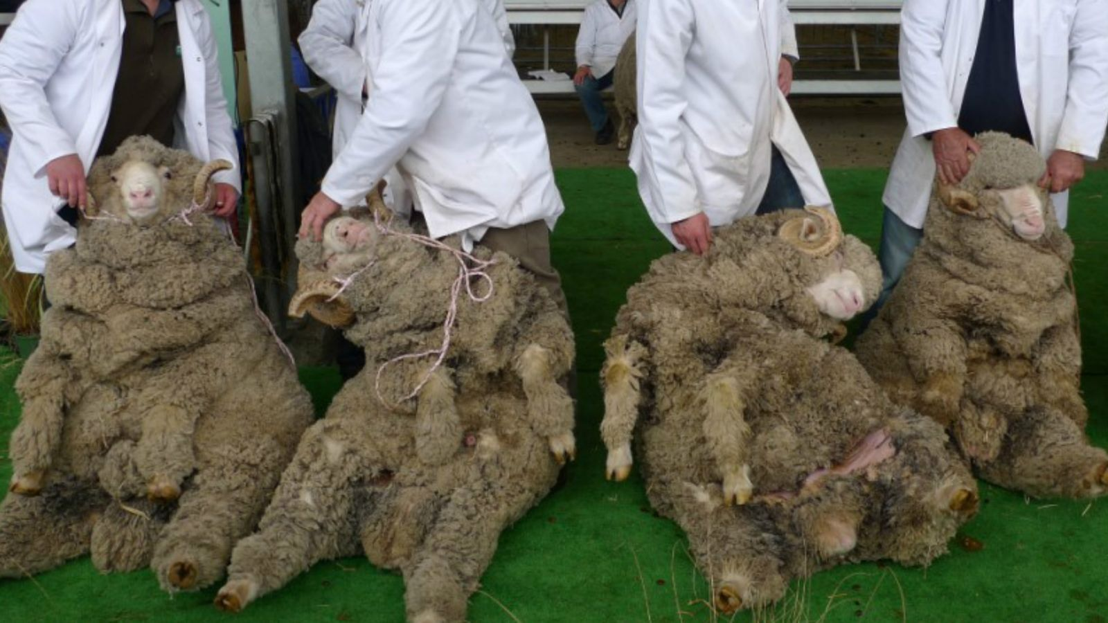 Four very woolly sheep held on their haunches by four unseen people in white lab coats
