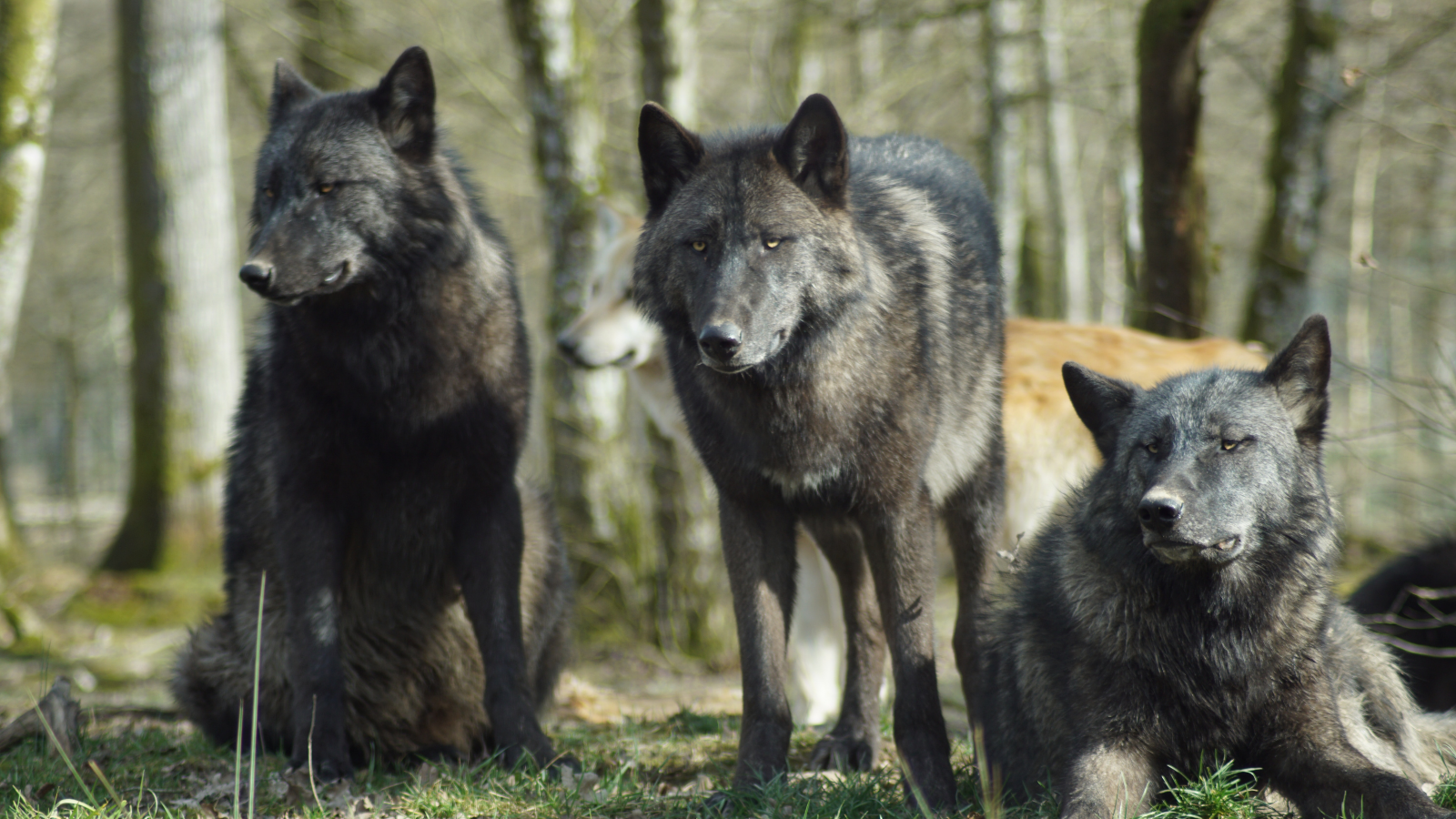 Impact wolves