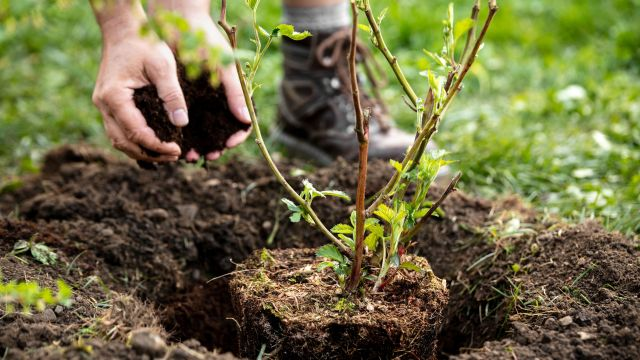 A hand plants a tree seedling