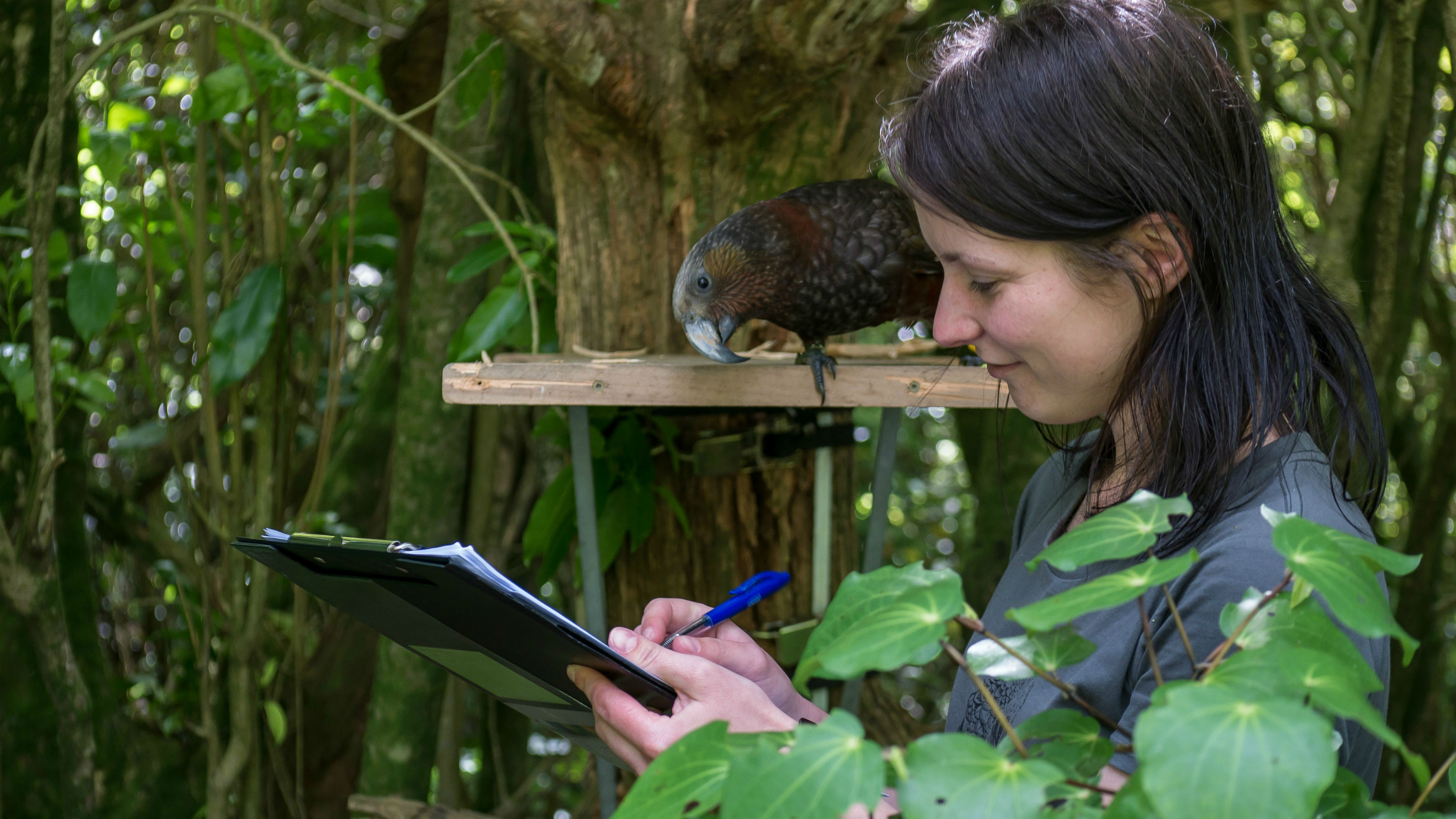 A researcher stands using a clipboard while a kaka looks over her shoulder.