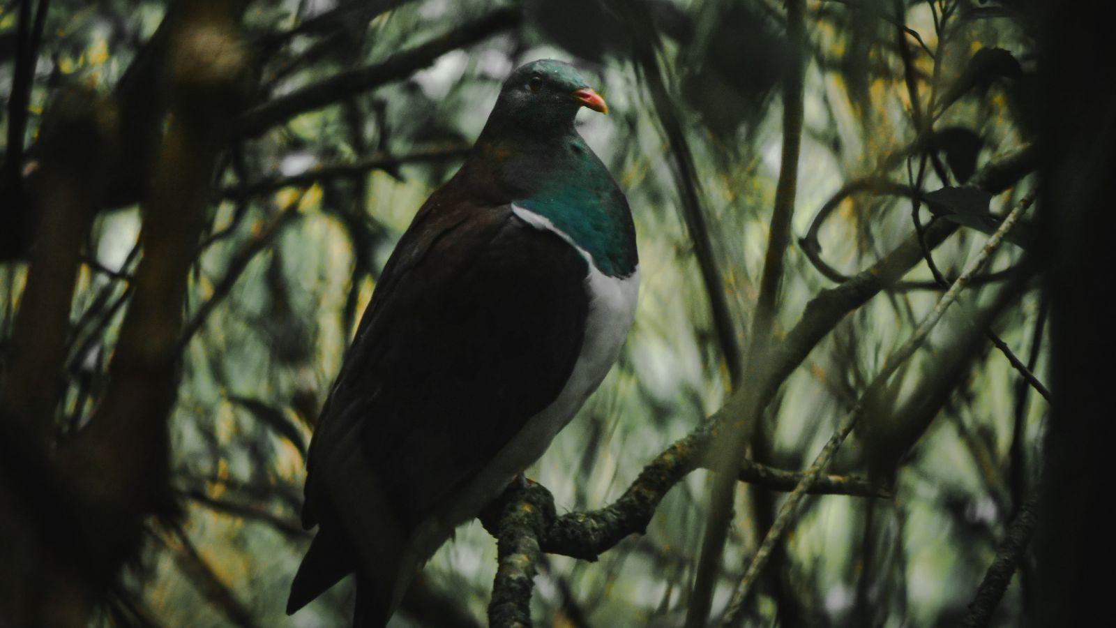 A kereru in the forest