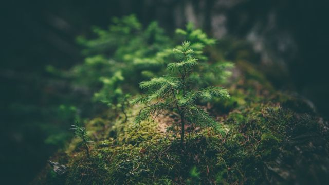 An image of a sapling growing out of moss in a forest.