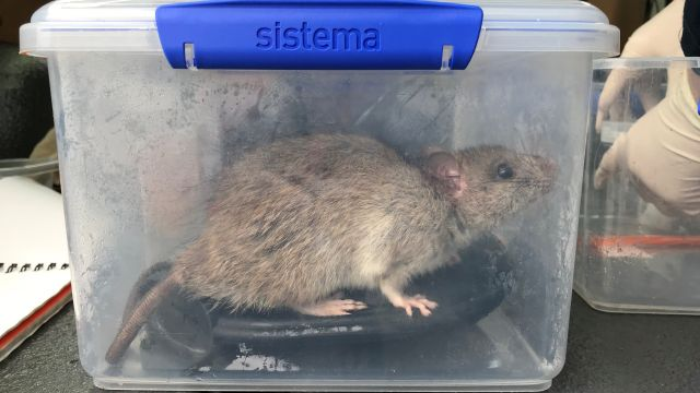 rat inside sistema Tupperware box
