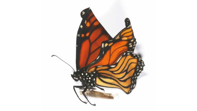 A monarch butterfly with crumpled wings because of ophryocystis elektroscirrha.