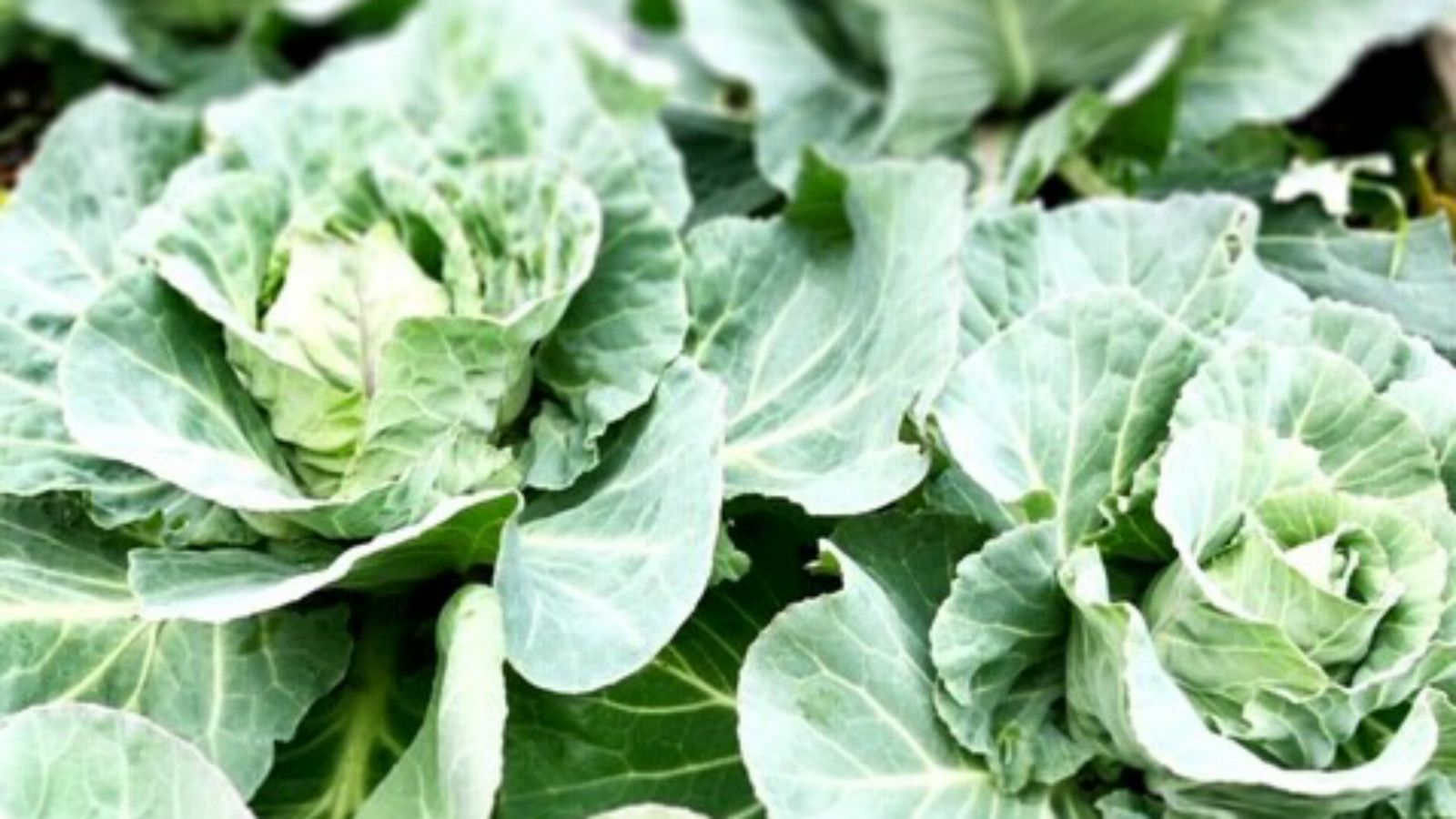 Home grown cabbages