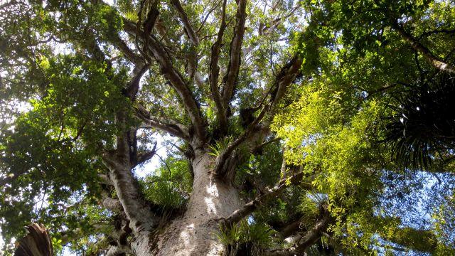 A kauri forest