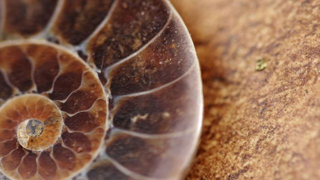curled fossil shell