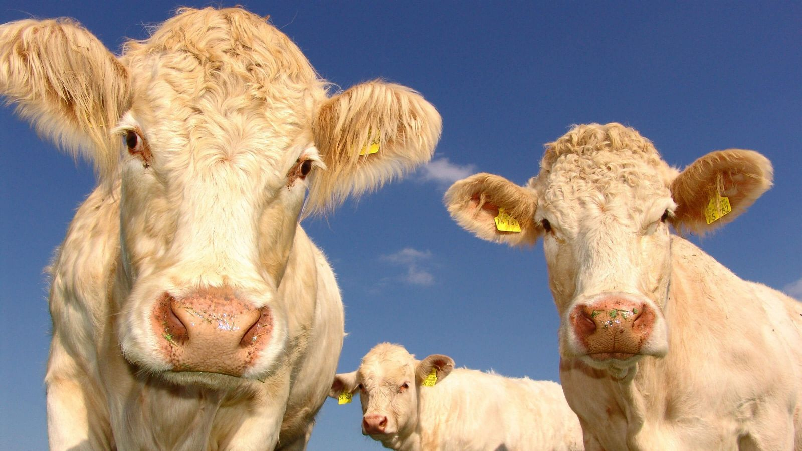 Three hornless blonde cows with wet grassy snouts peer into the camera.