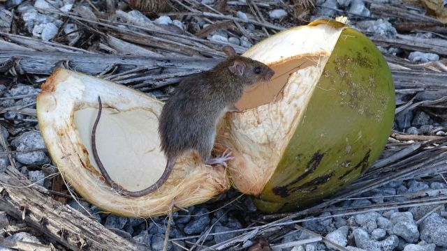 A rat sits on top of an open coconut