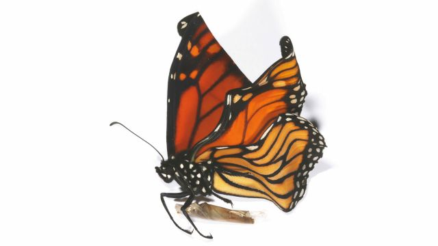 A crumpled monarch butterfly