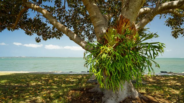 Staghorn fern growing on a tree at a beach