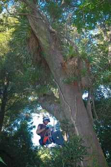 A PhD student samples a tree's epiphytes in Otari-Wilton's Bush